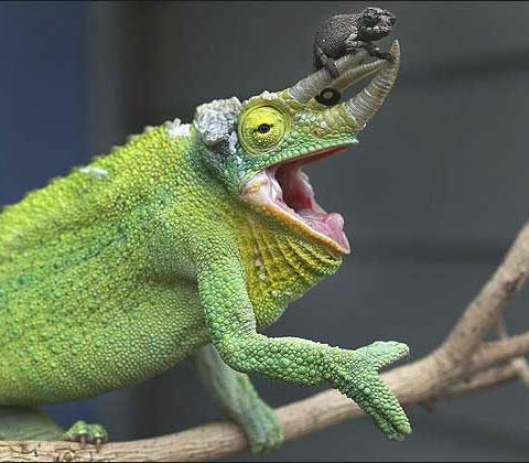 http://onthestroke.files.wordpress.com/2011/09/baby-chameleon.jpg?w=480&h=420